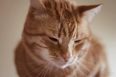 Monsieur (ericveillette) Tags: city red portrait orange art nature animal cat jaune rouge gris chat sleep bleu sleepy porte mister mur dormir fentre blanc bonheur bb couleur roux monsieur mure heureux animeaux someille