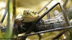 Pelophylax sp. (tom.lorthios) Tags: grenouille frog amphibian amphibien animal animaux nature marais france pelophylax wild wildlife 2016 nord verte swamp
