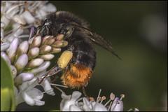 Garden Miner Bee 3 (Darwinsgift) Tags: macro garden nikon d insects micro nikkor speedlight f4 200mm sbr200