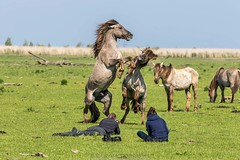 Maico_WNF_Frans_Lanting_Award-51 (Maico Barneveld) Tags: horses nationalpark natuur paarden wnf natuurfotografie