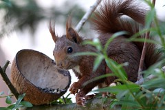 Who are you looking at?.... (Annie Loves Photos) Tags: red squirrel wildanimal redsquirrel smallanimal babysquirrel eartufts squirrelfeeding babyredsquirrel redsquirreleating 20160521001018awm
