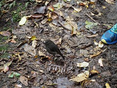 North Island Robin 4 (dougnewdick) Tags: bird robin animal closeencounter zealandia