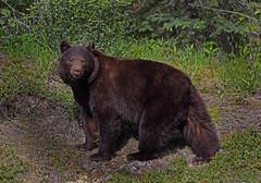 Cinnamon Black Bear Sow (ashockenberry) Tags:
