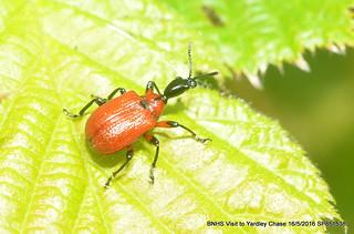 Hazel Leaf-roller Weevil (Apoderus coryli) DSC_7581