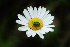 green Bug (Hugo von Schreck) Tags: macro bug insect outdoor beetle makro insekt kfer onlythebestofnature tamron28300mmf3563divcpzda010 canoneos5dsr hugovonschreck