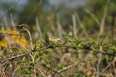 Wood Warbler (Latimer's Paradox) Tags: birds ornithology warblers woodwarbler phylloscopussibilatrix sylviidae fieldbirds