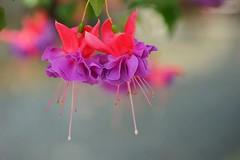 """フクシア・'セシール' /Fuchsia x hybrida cv. Cecile (nobuflickr) Tags: flower nature japan botanical kyoto 日本 花 """"the garden"""" 京都府立植物園 awesomeblossoms アカバナ科フクシア属 20160422dsc07996 フクシア・'セシール' fuchsiaxhybridacvcecile"""