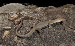 Freckled Monitor (Varanus tristis orientalis) (Brendan Schembri) Tags: varanus tristis orientalis goanna monitor freckled black headed brendanschembri australia varanid