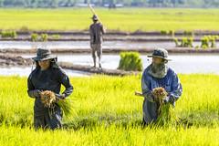 ChiangRai_7810 (JCS75) Tags: canon thailand asia asie ricefields chiangrai thailande rizire