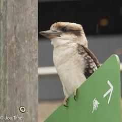 Kookaburra (q.joe.tang) Tags: wildlife kookaburra