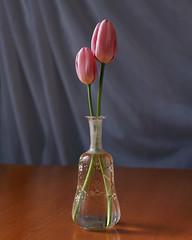 Tulips in a Vase (Howard Sandler (film photos)) Tags: pink flowers stilllife film mediumformat tulips bronica vase provia sqa zenzanon