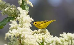 Yellow Warbler (Laura Erickson) Tags: birds maine places species harborisland yellowwarbler dendroicapetechia passeriformes lincolncounty parulidae setophagapetechia