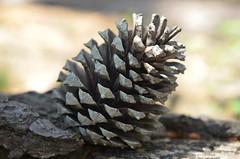 Nature (marionvincent1126) Tags: extrieur motif profondeur de champ pomme pin nature macro