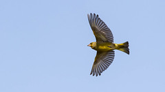 Greenfinch on the wing (rstewartb) Tags: people nature birds fauna scotland photographer unitedkingdom finches gb greenfinch monkton rjns