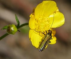 Oedemera nobilis female (gailhampshire) Tags: female nobilis oedemera