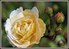 _JVA6678 (mrjean.eu) Tags: park pink flowers blue roses white france flower colour macro nature fleur rose yellow fleurs nikon jardin botanic lorraine botanique parc couleur metz gardin communal 105mmf28