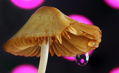 Rainy weather (Lorraine1234) Tags: macro mushroom drop refraction focusstacking