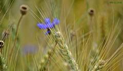 DSC_0285n wb (bwagnerfoto) Tags: field closeup nationalpark cornflower lobau gabona kulturlandschaft donauauen bzavirg kultrtj