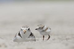 1 of 4 (Lisa Franceski) Tags: shorebirds charadriusmelodus pipingplovers pipingploverchick pipl lisafranceski femalepipl shorebirdbabies shorebirdsoflongisland lisafranceskiwildlifephotography