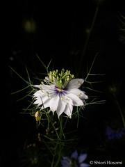 Nigella damascena (Shiori Hosomi) Tags: flowers plants japan night tokyo spider nocturnal nightshot may  ranunculaceae   nigella araneae 2016     ranunculales  thomisidae    noctuary flowersinthenight    noctivagant  oxytate 23     entomon