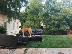 No. 28 of #sofasinthewild (moke076) Tags: trees atlanta dog pet abandoned leather animal trash standing georgia great ripped fake cellphone cell moose couch sidewalk sofa fawn faux torn dane cabbagetown iphone sideoftheroad vsco vscocam sofasinthewild