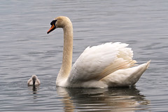 Little & Large........ (klythawk) Tags: nottingham red baby brown white black reflection nature water grey spring swan cygnet olympus troutlake omd em1 40150mm 14xtc colwickpark