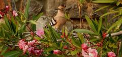 Hop/Hoopoe (Meino NL) Tags: bird spain aves hop oleander costabrava hoopoe vogel abubilla