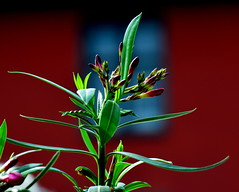 Colours of May / Mjusi sznek (Anoplius) Tags: red plant flower green rot window spring nikon fenster pflanze grn blume tavasz virg frhling zld nvny ablak vrs anoplius d5100
