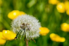 Dandelion clock (Evoljo) Tags: uk plant macro nature grass sunshine nikon cornwall buttercup dandelion d7100