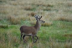 Wildlife 5 (CraigAllanPhotography) Tags: stag wildlife hunting scenic deer deers isleoflewis freerange stags stornoway wildlifestag
