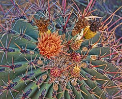 PATIENCE AND SOLITUDE (Irene2727) Tags: cactus plant flower nature cacti flora thorns needles pricks