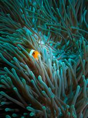 PEEKING (scatrd) Tags: bali fish canon indonesia travels underwater scuba clownfish scubadiving anenome s100 underwaterphotography 2015 anenomefish nusapenida canons100 underwaterhousing dive2000 jasonbruth fixs100 fixs100housing baliblast2015 worlddiverslembongan