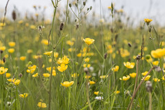Down in the meadow where the buttercups grow... (he4dgirl) Tags: downs countryside afternoon meadows depthoffield fields wiltshire ssi dandelions earlysummer countrylife buttercups greatcheverell cheverells chalkmeadowa