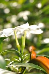 pandakaki puti (kampupot) banana bush (DOLCEVITALUX) Tags: flowers plants flower fauna flora philippines medicinalplants kampupot tabernaemontanapandacaqui pandakakingputi