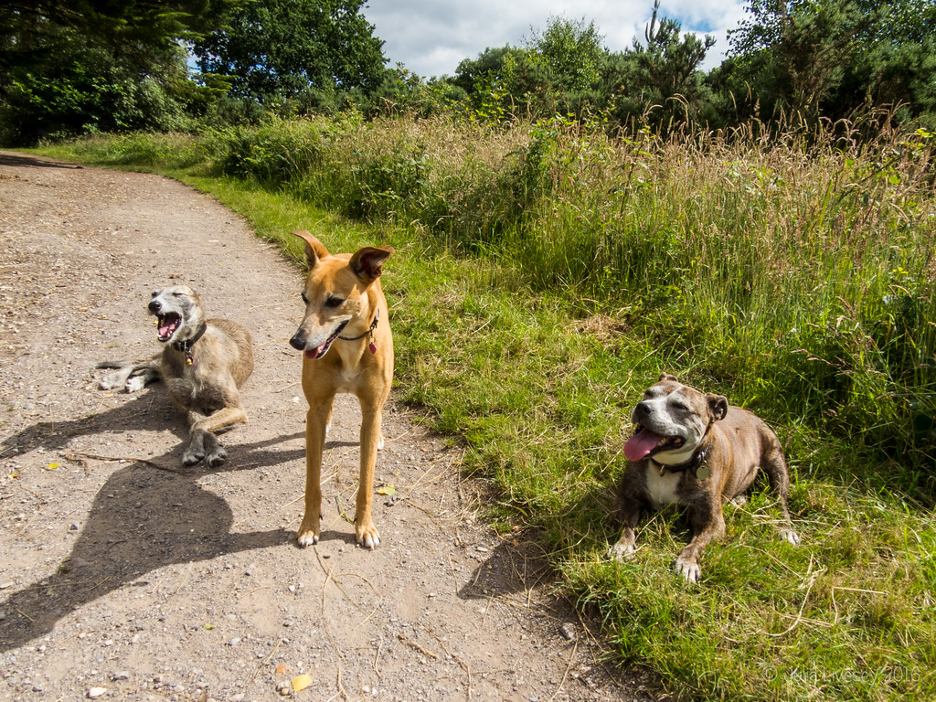 Whippet Rescue Dogs Scotland