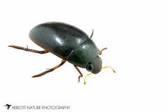 Water Scavenger Beetle (Tropisternus blatchleyi) 20160618_4944.jpg (Abbott Nature Photography) Tags: animals us unitedstates alabama gordo hexapoda polyphaga insectainsects coleopterabeetle arthropodaarthropods organismseukaryotes invertebratainvertebrates hydrophilidaewaterscavengingbeetles