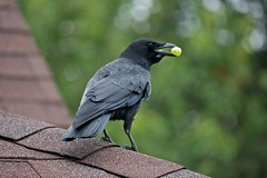 Got a Grape (Stirrett6) Tags: bird crow corvid perching