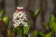 (nurdug2010) Tags: blom flower nurdugphotos gudrunhauksdottir canoneos7d tamronsp150600mmf563divcusda011 sland iceland