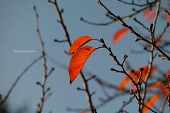 autumn colors (gwnam.2008) Tags: autumn autumncolor autumnleaves november park ilsan lake lakeside lakepark        goyang seoul gyeonggi gyeonggiprovince korea southkorea nx1 nature urban urbannature orange red orangecolor maple leaf fall fallcolor fallfoliage tree