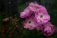 Effet de Serre (Clydomatic) Tags: flickrdiamond diamondclassphotographer fleurs rose roses serre vitre transparence