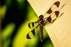 Dragonfly (Connie Sue2) Tags: umbrella garden dragonfly