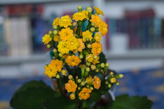 Kalanchoe 1/365 (katet_j) Tags: flowers yellow kalanchoe photochallenge 365day