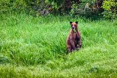 Khutzeymateen Grizzly Bear Sanctuary (Richard McGuire) Tags: ca canada bc britishcolumbia sanctuary princerupert grizzlybear khutzeymateen skeenaqueencharlottea