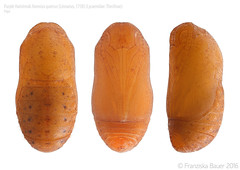 Purple Hairstreak pupa (Franziska Bauer) Tags: butterfly lepidoptera pupa schmetterling lycaenidae bluling theclinae tagfalter eichenzipfelfalter favoniusquercus