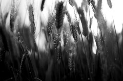 within (Stefano Rugolo) Tags: pentax k5 field spring 2016 countryside lazio italy perspective outdoor depthoffield plant smcpentaxm50mmf17 grass bokeh evening droplets wheat within stefanorugolo