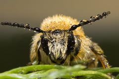 Bee in Dew (arturry) Tags: macro nature water insect ngc rosa dew makro honeybee apis extrememacro pszczoa beeindew