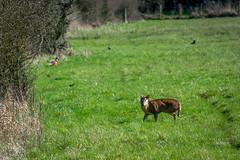 Muntjac Deer (Bajo Rogan) Tags: life uk england game nature animal landscape nikon wildlife meadow deer nikkor oxfordshire whitehorsehill muntjac shrivenham d5300