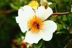 White with gold (Rajavelu1) Tags: india white plant flower art garden creative ooty artland macrophotograph canon6d