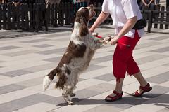 He's got the moves (Yvonne L Sweden) Tags: dog dogs sweden hund springerspaniel arlo eskilstuna hundar 160622 fristadstorget hundshow sommartorget