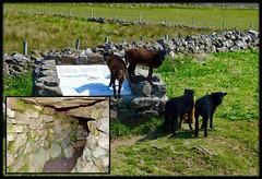 Kilvaxter Iron Age Farmstead & Souterrain (rustyruth1959) Tags: green animals underground nikon isleofskye stones farm tunnel walls nikkor souterrain ironage trotternish nikond3200 kilvaxter
